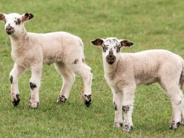 Falling lamb prices for sheep farmers must be considered too