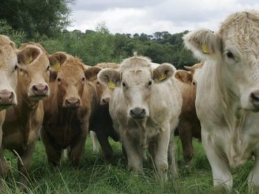 Cllr says measures urgently needed to sustain the beef industry in the north west