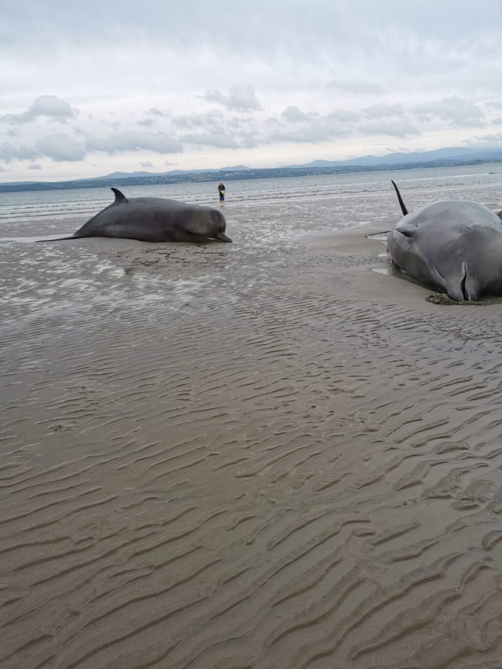 Photo Credit to Nicola Coyle with the Irish Whale and Dolphin Group